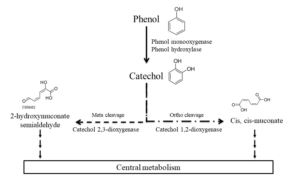 BG - Potential for phenol biodegradation in cloud waters