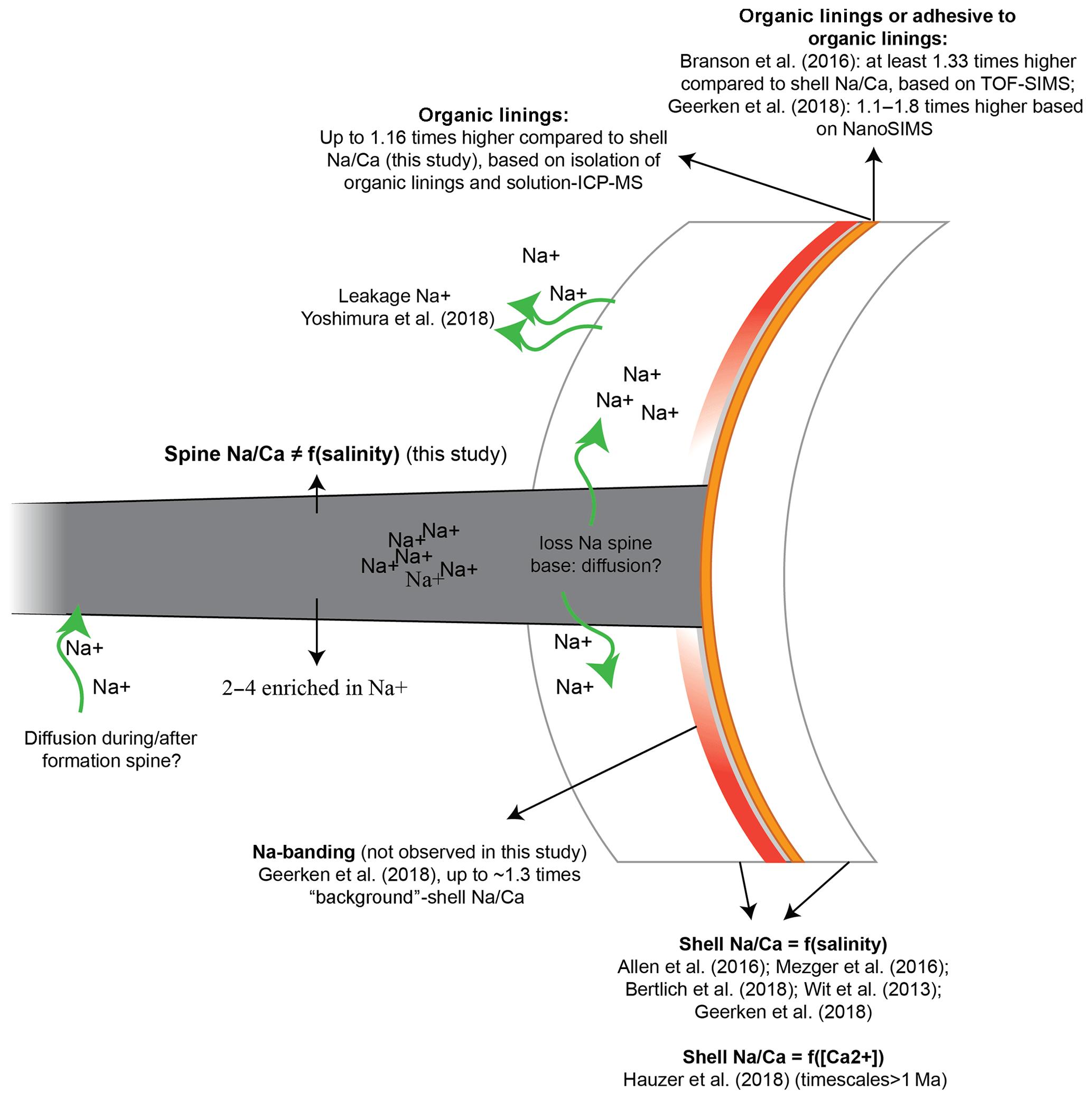 BG - Planktonic foraminiferal spine versus shell carbonate